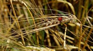 Image Wheat Ladybugs Closeup Spikes Bokeh Nature