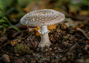 Wallpapers Amanita Mushrooms nature Closeup blusher Nature
