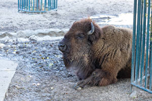 Fotos Amerikanischer Bison Tiere