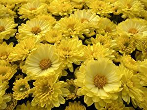Bilder Astern Viel Großansicht Gelb Blüte