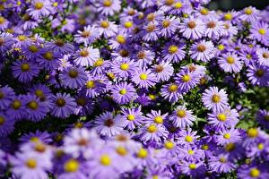 Image Asters Many Violet Shrub Aster Flowers