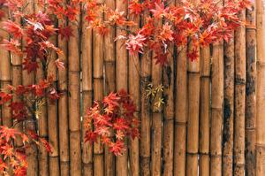 Pictures Autumn Bamboo Maple Nature