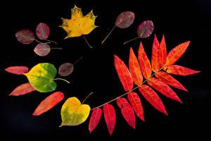 Обои для рабочего стола Осень Черный фон Листья Природа картинки