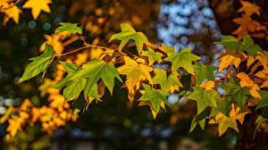 Fotos Herbst Blatt Ahorn Ast Natur