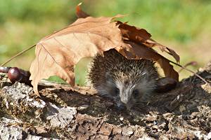 Bilder Herbst Igel Blattwerk ein Tier