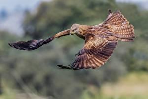 Bakgrunnsbilder Fugler Flygende Black kite Dyr