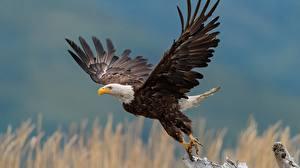 Photo Bird Eagle Bald Eagle Taking off