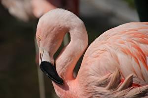 Обои Птицы Фламинго Сбоку Розовый Голова Клюв Животные картинки
