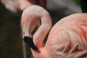 Photo Bird Flamingo Side Pink color Head Beak Animals