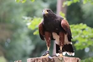 Wallpaper Bird Hawk Bokeh Desert Buzzard animal