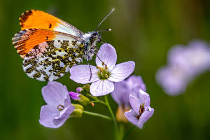 Fotos Schmetterlinge Insekten Nahaufnahme Bokeh Orange Tip