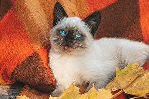 Fotos Katze Blick Kätzchen Balinese cat Tiere