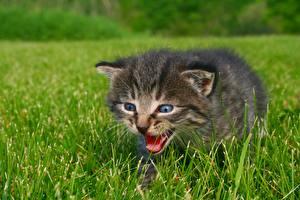 Hintergrundbilder Hauskatze Gras Katzenjunges ein Tier