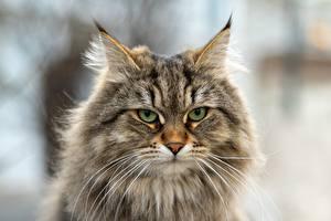 Hintergrundbilder Katze Schnauze Schnurrhaare Vibrisse Blick Flaumig Siberian cat Tiere