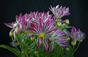 Tapety na pulpit Złocień Z bliska Na czarnym tle Pąk Kwiaty