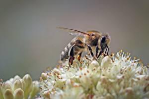 デスクトップの壁紙、、クローズアップ、ミツバチ、昆虫、動物