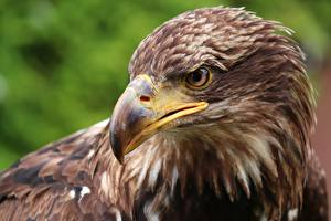 Picture Closeup Bird Eagle Head Beak animal