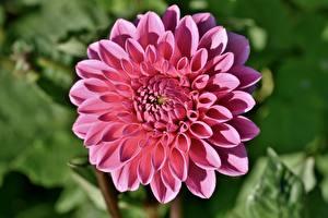 Tapety na pulpit Zbliżenie Dalia Bokeh Różowy kolor Kwiaty
