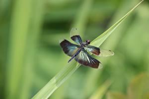 Bureaubladachtergronden Van dichtbij Libellen Insecten Onscherpe achtergrond Dieren