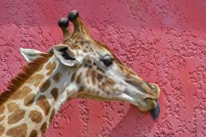 Fotos Großansicht Giraffe Wände Kopf Tiere