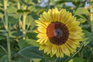 Hintergrundbilder Hautnah Sonnenblumen Gelb Blüte