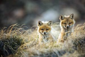 Picture Cubs Foxes Two Staring animal
