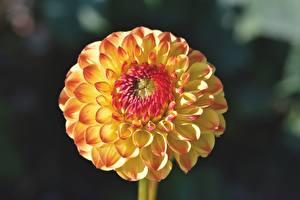 Tapety na pulpit Dalie Zbliżenie Rozmazane tło kwiat
