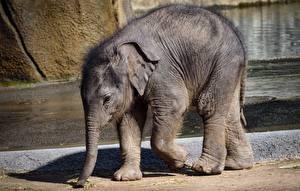 Fotos Elefant Jungtiere Tiere