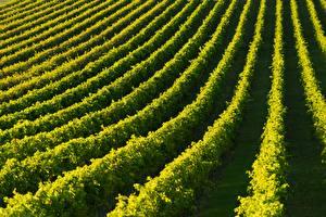 Bilder Felder Weinberg Grape plantation Natur