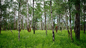 Photo Forest Birch Trees Grass Nature