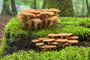 Picture Forests Mushrooms nature Tree stump Moss pholiota mutabilis