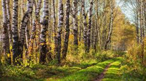 Images Forests Roads Birch Trees Nature