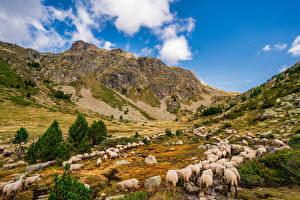 Picture France Mountain Sheep Valley Herd Crag Aston, Pyrenees