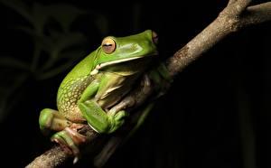 Bureaubladachtergronden Kikker Boomtakken Groen kleur White-lipped Tree frog Dieren