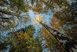 Image Germany Forest Autumn Trunk tree Bottom view Birch Niederrathen