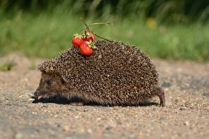 Photo Hedgehogs Strawberry Animals