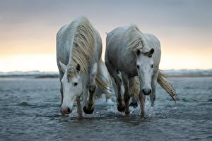 Wallpapers Horse Water 2 White animal