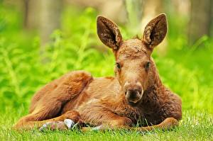 Pictures Moose Cubs Laying