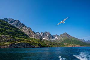 Bilder Norwegen Lofoten Berg Vogel Möwe