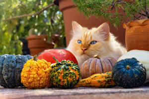 Photo Pumpkin Cat Staring Animals