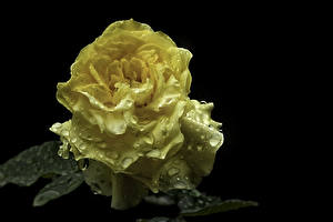 Images Roses Closeup Black background Yellow Drops Flowers