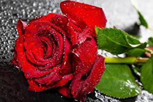 Tapety na pulpit Róże Zbliżenie Czerwony Kropla Kwiaty