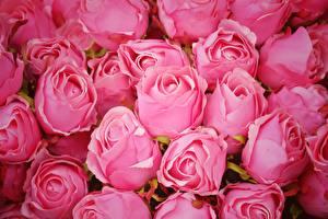 デスクトップの壁紙、、バラ、たくさん、ピンク、