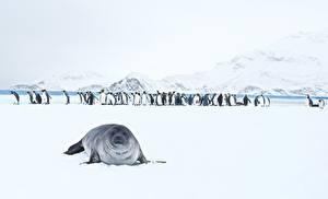 Picture Seals Penguin Snow King Penguins animal