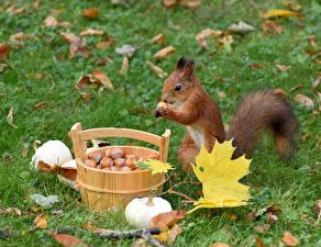 Bilder Eichhörnchen Haselnuss Kürbisse Blatt Eimer Tiere