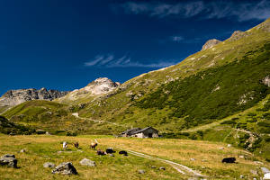 Picture Switzerland Mountains Cows Stone Alps Valley Val Bever Animals