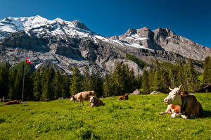 Pictures Switzerland Mountains Meadow Cows Crag Laying Nature Animals