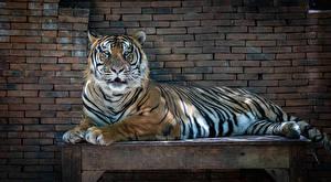 Image Tiger Walls Table Laying animal