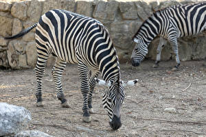 Hintergrundbilder Zebra Zwei