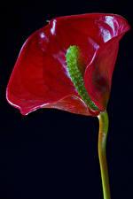 Fotos Anthurium Hautnah Schwarzer Hintergrund Rot Blumen